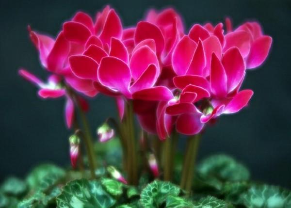 シクラメンの花言葉があなたを勇気づけてくれる7つの理由