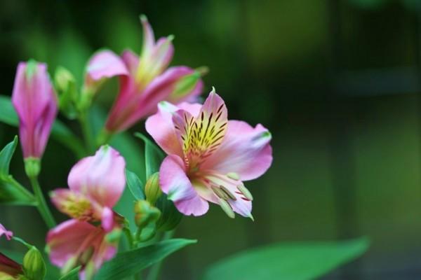 アルストロメリアの花言葉が贈り物にぴったりな7つの理由