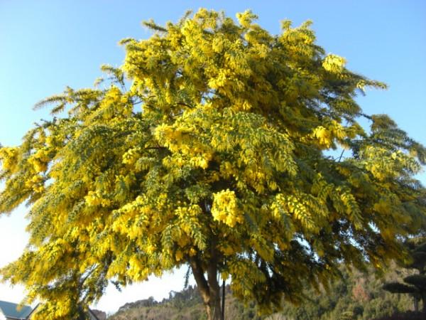ミモザアカシアを上手に咲かせる育て方、7つのステップ