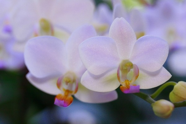 胡蝶蘭の花言葉を使って大切な人へ贈り物をする7つの方法