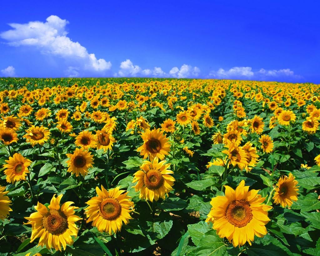 ひまわりの花言葉を使って心を元気にする7つの方法☆