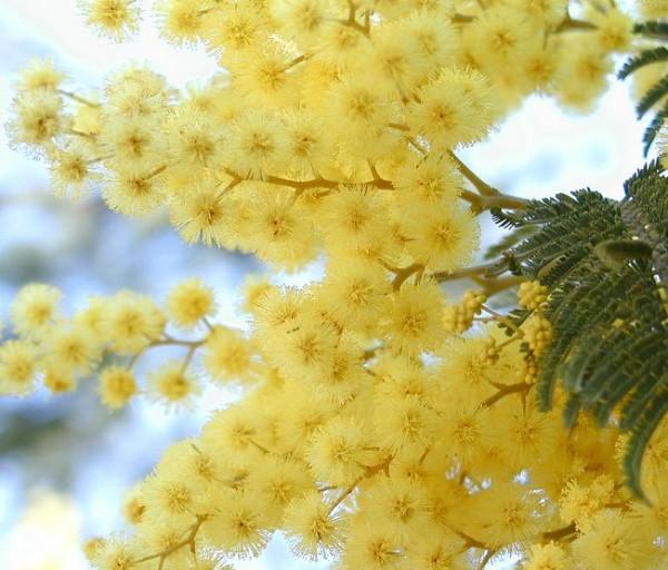 【ミモザアカシアの育て方】来年も咲かせる為の7つのコツ
