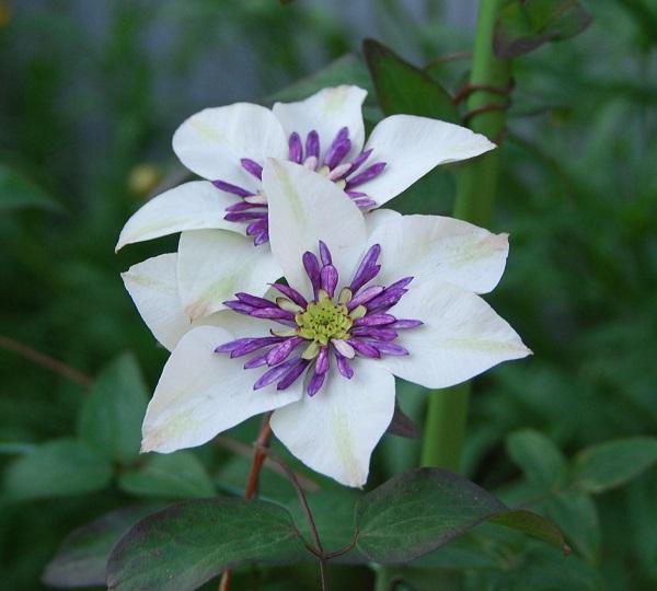 クレチマスの花言葉を使って来客をもてなす5つの方法☆