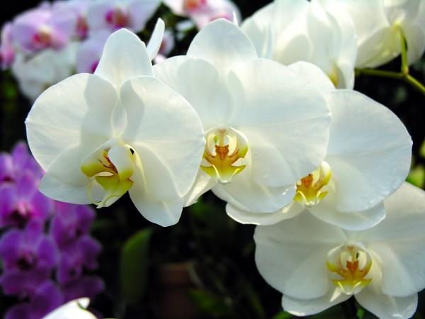 蘭の育て方を知って、来年も綺麗に咲かせるための7つのコツ