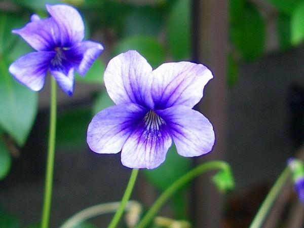 菫の花言葉を使って大切な人に贈り物をする7つの方法