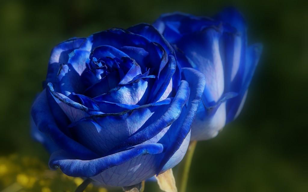 色別に違うバラの花言葉を使って贈り物をする7つのコツ☆