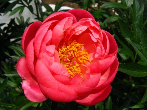 芍薬の花言葉~育て方まで、知っておきたい7つのポイント