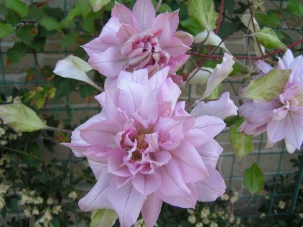 クレチマスの花言葉で女性の魅力をUPさせる5つの方法