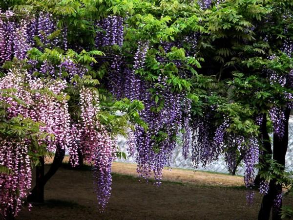 藤の花言葉を使って、粋な便りを贈る7つの方法