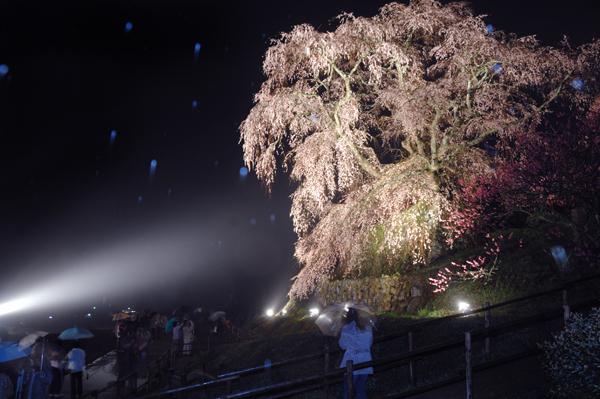 意外と知らなかった桜の種類と名前、代表10種の見分け方