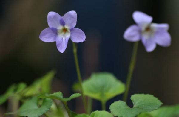 菫の花言葉と、ピッタリな贈り物の選び方7例