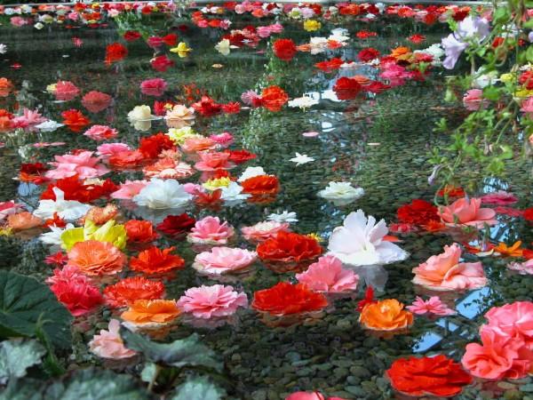 ベゴニアの種類を花言葉に合わせて贈る為の7つの方法