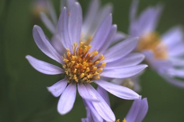 紫苑の花言葉を遠距離恋愛に役立てる7つのアイデア
