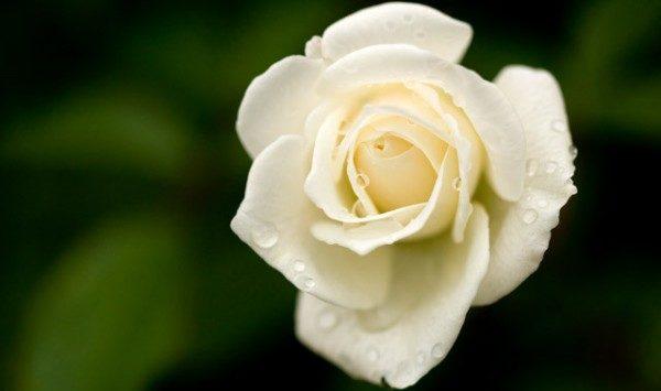 白いバラの花言葉が尊敬する人への贈り物に良い7つの理由
