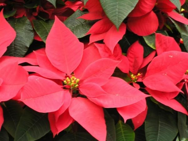ポインセチアの花言葉を情熱的な愛の告白に添えたい理由