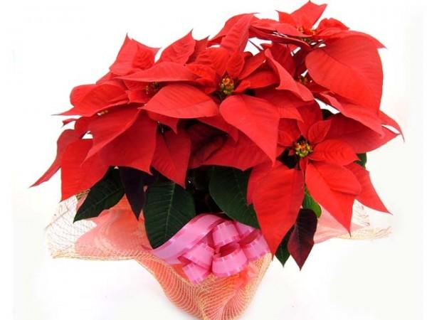 ポインセチアの花言葉でクリスマスを祝う7つの方法
