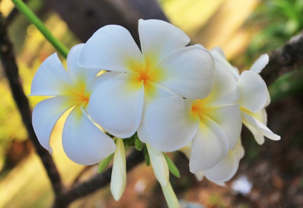 プルメリアの花言葉に学ぶ、幸せな7つのアロハスピリット