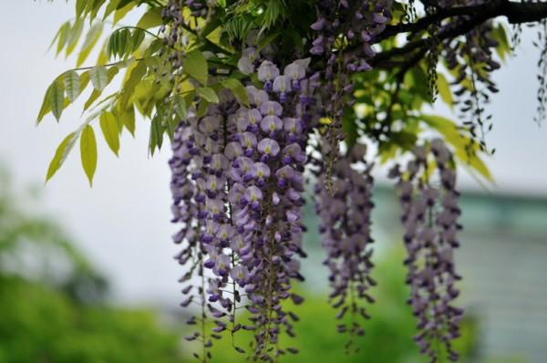 藤の花言葉…意外に怖い、知っておきたい7つの事