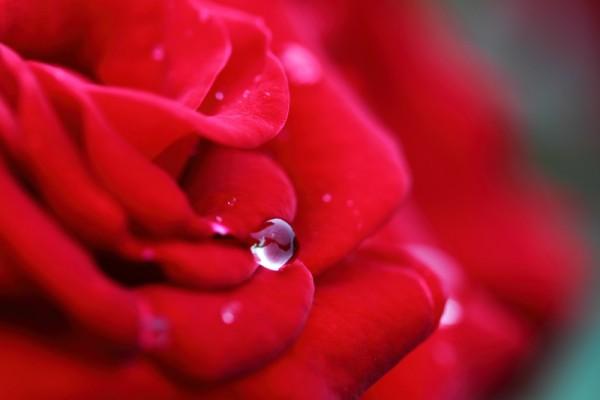 【愛を伝える王道】バラの花言葉が幸福をもたらす理由とは