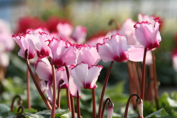 シクラメンの花言葉で感謝の気持ちを伝える方法