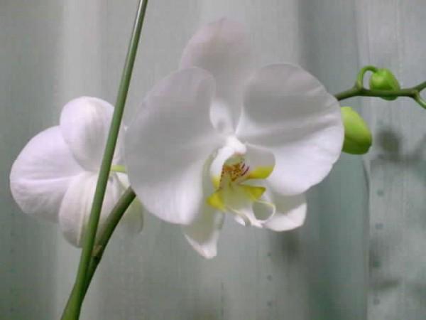 【胡蝶蘭の育て方】上手に育てるための7つの条件