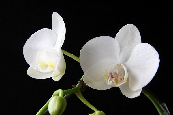 胡蝶蘭の育て方にはコツがある?その技法とノウハウ