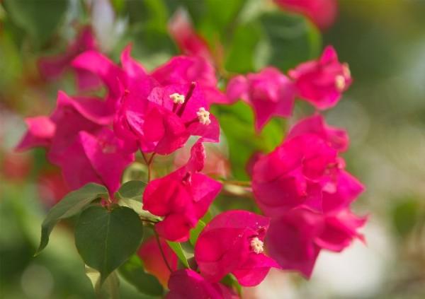 ブーゲンビリアの花言葉を使って粋な告白をする7つの方法