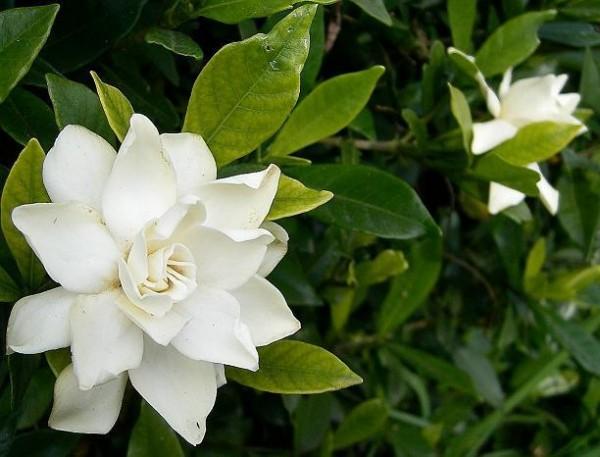 クチナシの花言葉を使って結婚式を彩る7つの方法☆