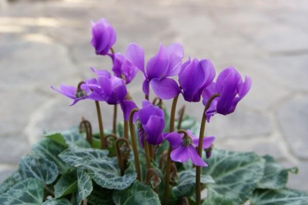 【シクラメンの花言葉】色別に使い分けて贈る7つの方法