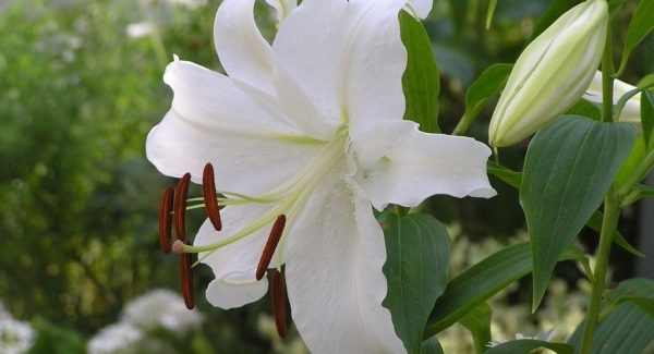 カサブランカの花言葉、大切な人に贈りたくなる7つの理由