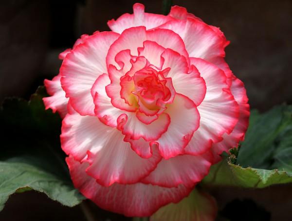 ベゴニアの花言葉を使って大好きな人に告白する7つの方法