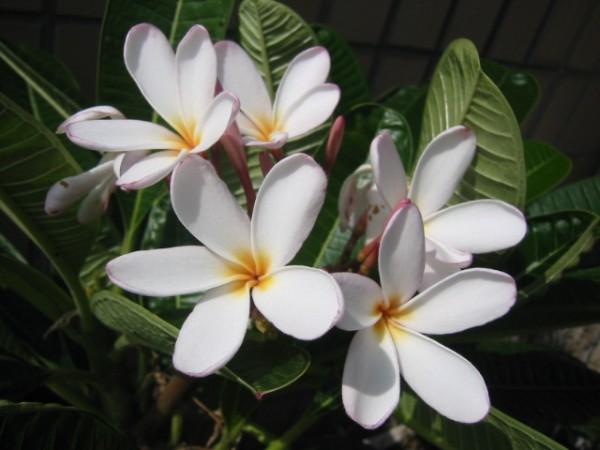 プルメリアの花言葉でハワイアンジュエリーを楽しむコツ