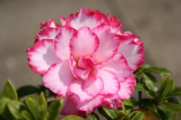 アザレアを花言葉と共に☆お部屋で華やかに飾る7つの方法