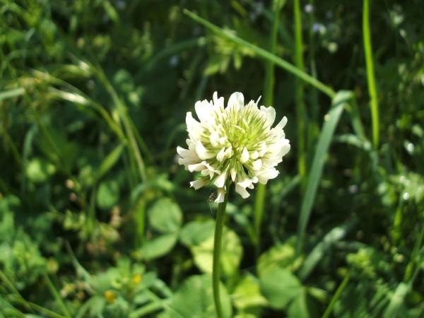 シロツメクサの花言葉を知ると本当の幸福にめぐり合う理由とは