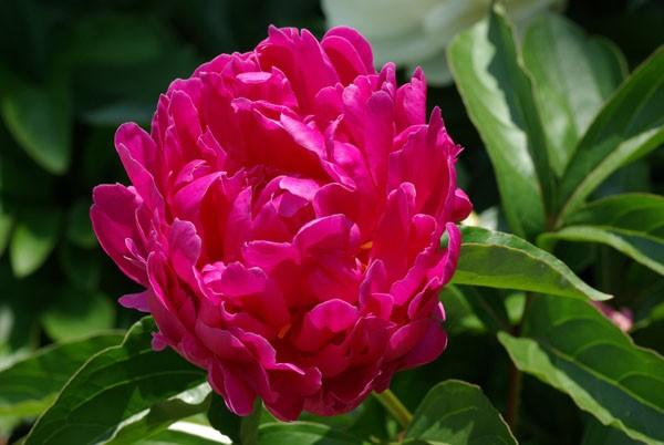 芍薬の花言葉に学ぶ!大和なでしこ風女子を目指す秘訣