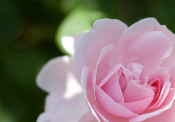 バラの花言葉でラブレターを☆気持ちをうまく伝える方法