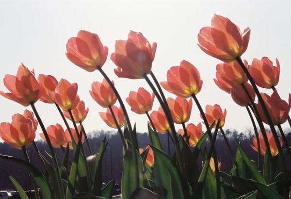 チューリップの花言葉が素敵☆恋にまつわる7つの伝説