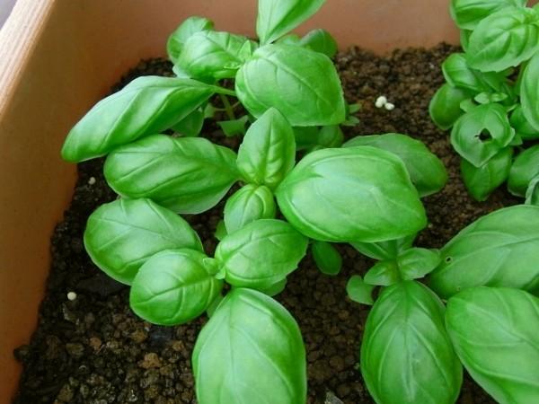 【バジルの育て方】収穫量を増やす為の摘芯栽培7つのコツ