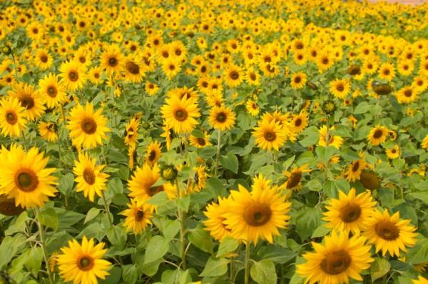ひまわりの花言葉でキュートな明るい笑顔になる7つの秘訣