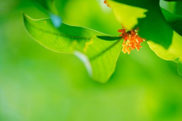 金木犀ってどんな花?花言葉~食用方法まで詳しくご紹介♪