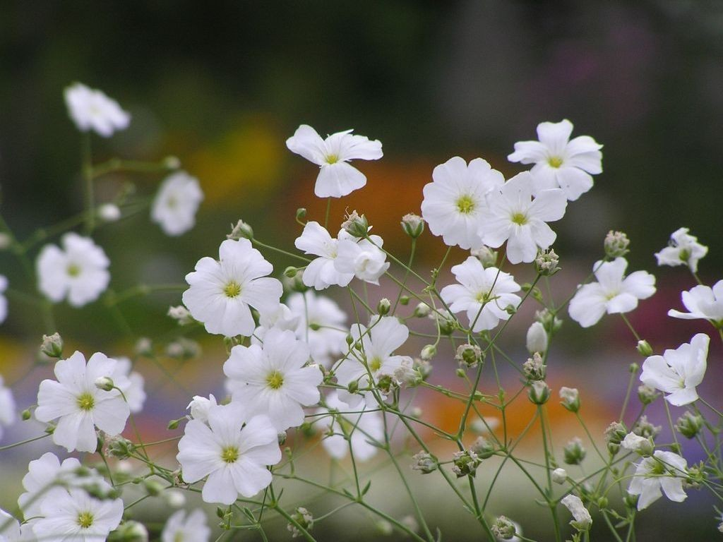 花束の定番カスミソウ☆花言葉と好相性の組み合わせとは