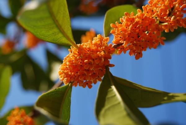 香ると癒される…金木犀の花言葉とそのアロマ効果☆
