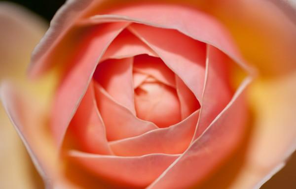 バラの花言葉で夫婦仲を取り戻そう!家庭円満の秘訣7つ