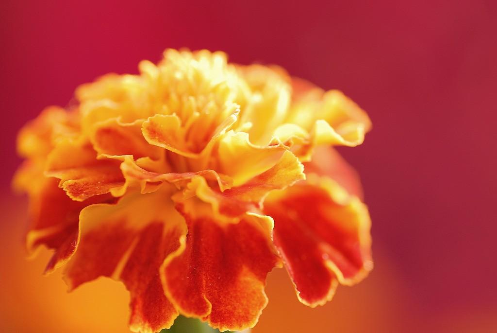 マリーゴールドの花言葉に学ぶ、毎日を笑顔で過ごす秘訣!