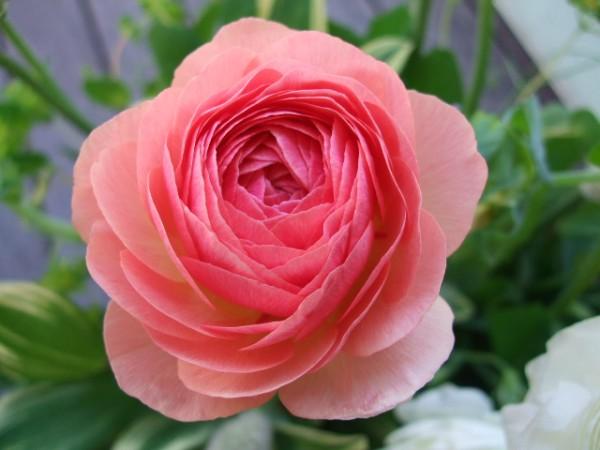 ラナンキュラスの花言葉を纏い、気品高い淑女になる方法