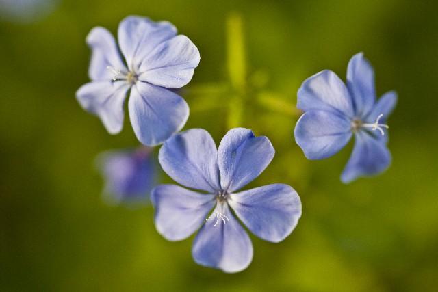 勿忘草の花言葉は恋人達の心に響く、歌にもなったその意味