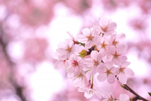 桜の花言葉を知って、子供の成長を見守る男性になる秘訣