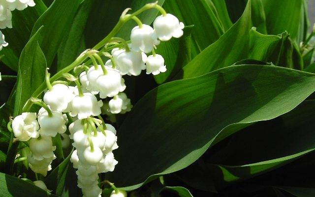 すずらんの花言葉を贈るのに相応しい7つのシチュエーション