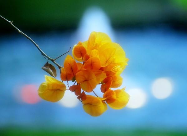 ブーゲンビリアの花を長持ちさせる育て方、7つの基本☆