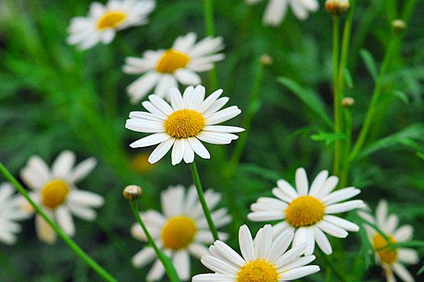 マーガレットの花言葉から学ぶ、自分の魅力に気づく方法☆